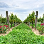 Google Vineyard Tours - Martha Clara Vineyard